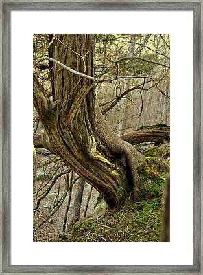 Twisted Cedar Framed Print by Marty Koch