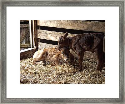 Two Affectionate Sibling Calfs In A Barn Stall Framed Print