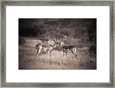 Two Antelopes Together In A Field Framed Print by David DuChemin