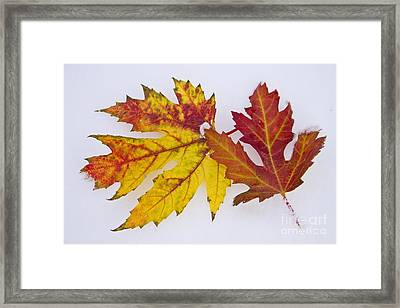 Two Autumn Maple Leaves  Framed Print by James BO  Insogna