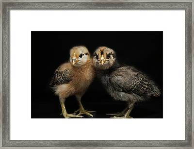 Two Baby Chicks Framed Print by Monica Fecke