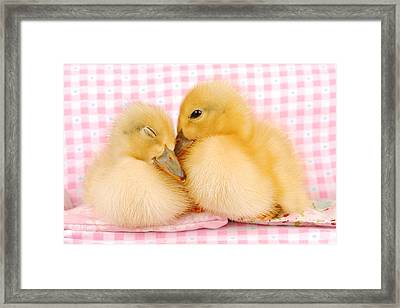 Two Baby Ducks Who Like Each Other Framed Print by Dominik Eckelt