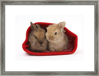 Two Baby Lionhead-cross Rabbits Framed Print by Mark Taylor