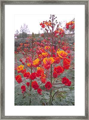 Two Bird Of Paradise Framed Print