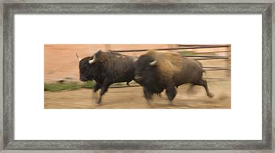Two Bison Race Each Other Framed Print by Ralph Lee Hopkins