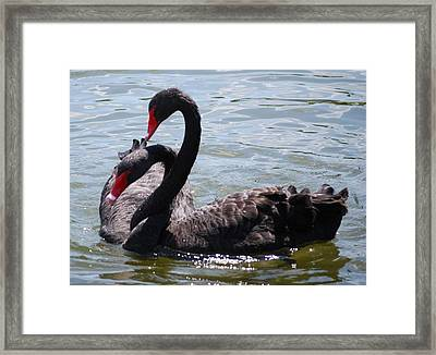 Two Black Swans Framed Print by Carrie Munoz