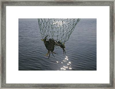 Two Blue Crabs Caught In Framed Print