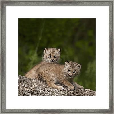 Two Canada Lynx Lynx Canadensis Kittens Framed Print by Richard Wear