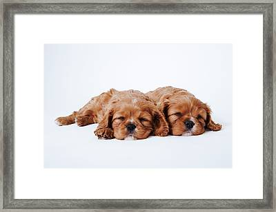 Two Cavalier King Charles Spaniel Puppies Sleeping In Studio Framed Print