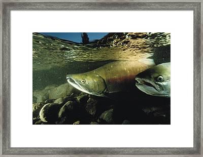 Two Chum Salmon, Oncorhynchus Keta Framed Print by Bill Curtsinger
