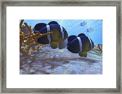 Two Clownfish Swim Among The Coral Beds Framed Print by Corey Ford