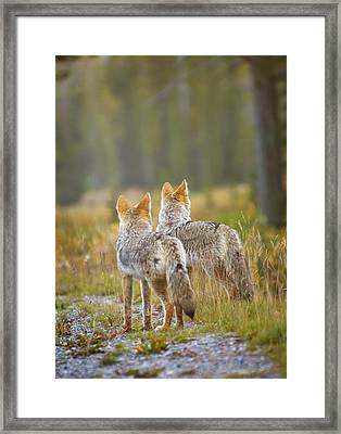 Two Coyotes Canis Latrans Canmore Framed Print by Richard Wear