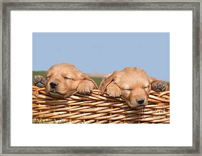 Two Cute Puppies Asleep In Basket Framed Print by Cindy Singleton
