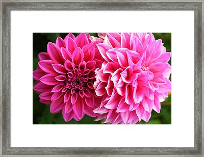 Framed Print featuring the photograph Two Dahlias In Shades Of Pink by Laurel Talabere