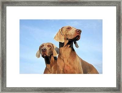Two Dogs, Weimaraner Framed Print by Werner Schnell
