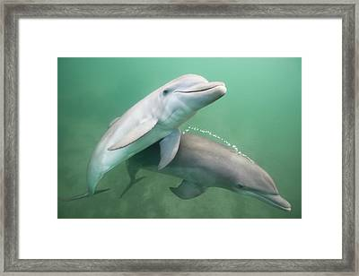 Two Dolphins Underwater. Framed Print