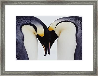Two Emperor Penguins (aptenodytes Forsteri) In Courtship Display Framed Print