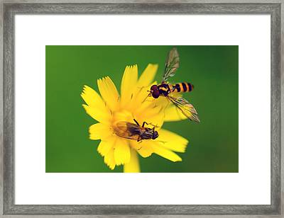 Two Flies Pollinate A Yellow Flower Framed Print by Darlyne A. Murawski