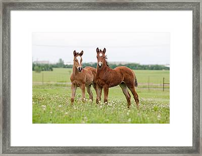 Two Foals Standing Framed Print