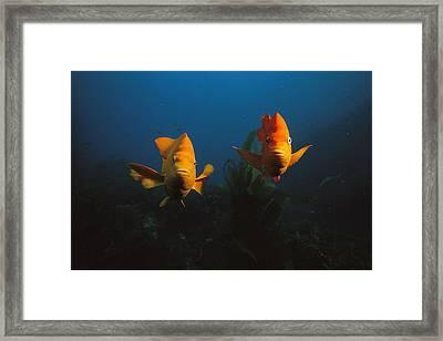 Two Garibaldi Fish Face The Camera Framed Print by Tim Laman