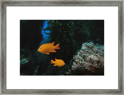 Two Garibaldi Fish Framed Print by Tim Laman
