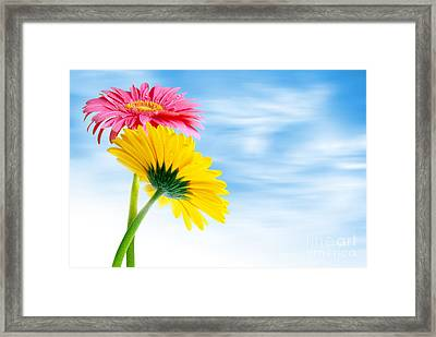 Two Gerberas Framed Print by Carlos Caetano
