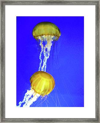 Two Gold Jellys Framed Print