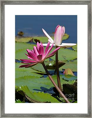 Two Graceful Water Lilies Framed Print