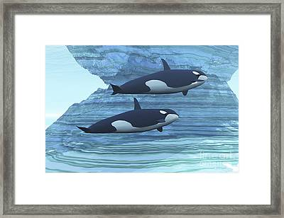 Two Killer Whales Swim Around Submerged Framed Print by Corey Ford