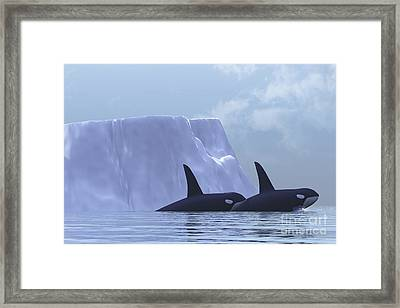 Two Killer Whales Swim Near An Iceberg Framed Print by Corey Ford