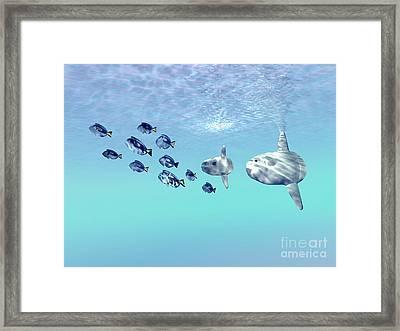 Two Large Sunfish Escort A School Framed Print