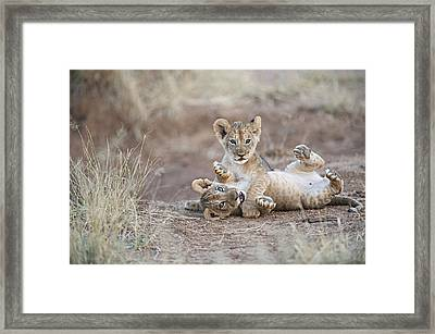 Two Male Lion Cubs Wrestle On The Trail Framed Print by Mark C. Ross