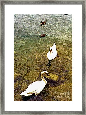 Two Pairs Of Swans And Ducks Framed Print by Merton Allen