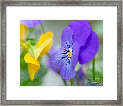 Two Pansies Ln Love Framed Print
