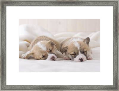 Two Pembroke Welsh Corgi Sleeping On A Blanket Framed Print