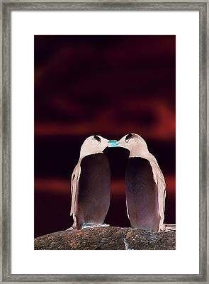 Two Penguins Touching Beaks Framed Print by Joel Simon