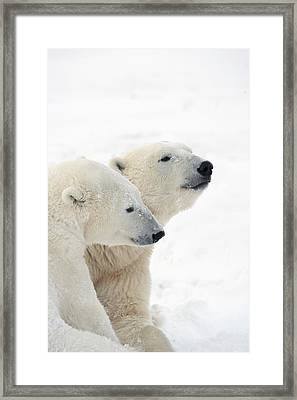 Two Polar Bears Ursus Maritimus Showing Framed Print by Richard Wear