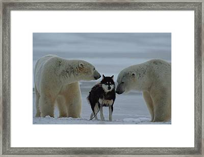 Two Polar Bears Ursus Maritimus Sniff Framed Print by Norbert Rosing