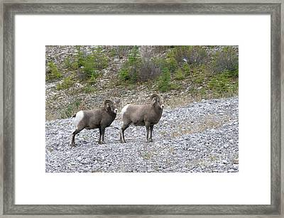 Two Rams  Framed Print by Jeff Swan