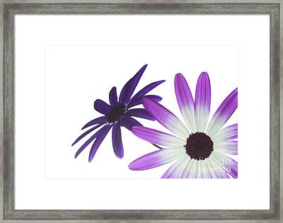 Two Senetti's Framed Print by Richard Thomas