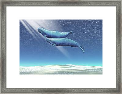 Two Sperm Whales Near The Surface Framed Print by Corey Ford