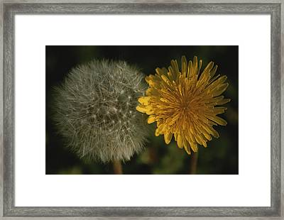 Two Stages Of Dandelion Side By Side Framed Print