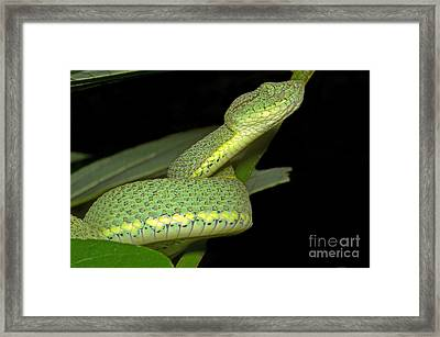 Two Striped Forest Pit Viper Framed Print by Dante Fenolio