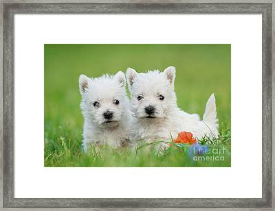 Two West Highland White Terrier Puppies Portrait Framed Print by Waldek Dabrowski