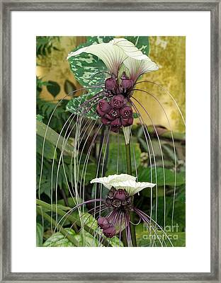 Two White Bat Flowers Framed Print by Sabrina L Ryan