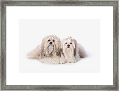 Two White Lhasa Apso Pupppies St Framed Print by Corey Hochachka