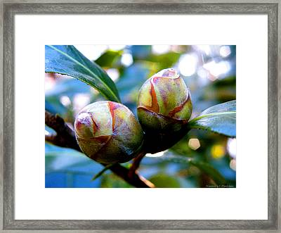 Two Young Camellia's Framed Print