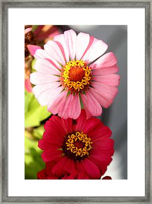Framed Print featuring the photograph Two Zinnias In The Shade by Paula Tohline Calhoun