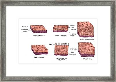 Types Of Epithelial Cells Framed Print by Science Source