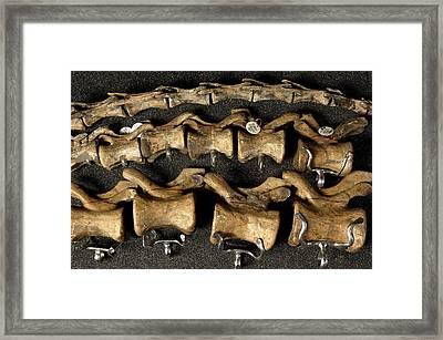 Tyrannosaurus Rex Caudal Bones Framed Print by Volker Steger